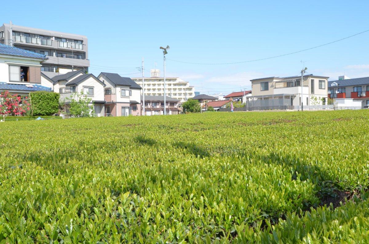 所沢 狭山茶